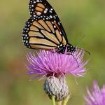 8.13 Monarch Beauty