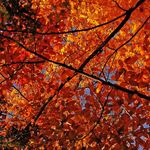 Canopy of Colored Leaves
