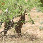 A Desert Deer