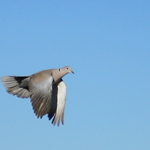 A Dove In Flight