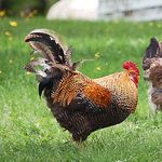 A Free Range Rooster