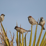 A Group Of House Sparrows