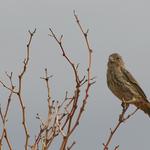 A Plain Sparrow