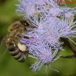 A bee on ageratum