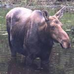 Algonquin Moose - 1
