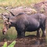 Algonquin Moose - 2