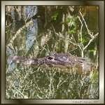 Reflecting Gator