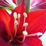 Amaryllis 1