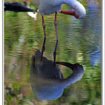 American White Ibis