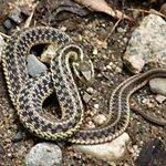 River Snake
