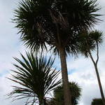 Tall Cabbage Tree's