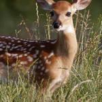 So Deer
