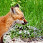 Fox Pupp 2