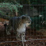 snow leopard 3