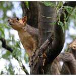 Squirrel In The Willow Tree 2