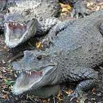 Dwarf Crocodiles