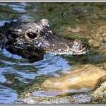 Dwarf Crocodile 2