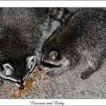 Raccoon and Baby