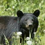 The unpredicable Black Bear