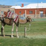 Camels In Kingman