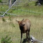 Elk Doe