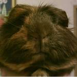 Harvey the Guinea Pig
