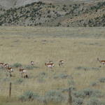 Antelope Herd - Belfrey, MT