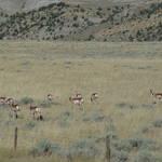 Antelope Herd - Belfrey, MT