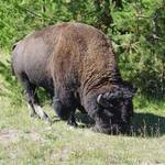 Bison Bull