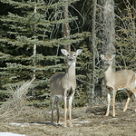 Deer at Attention