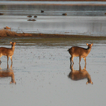 Assateaque Island Deer