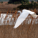Flight of an Egret