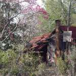 Old house and redbud