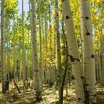 In the Aspen Forest