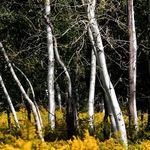 Aspens in a Field of Goldenrod