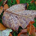 Autumn Leaf ..