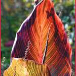 Autumn Light & Shadow, canna leaves