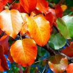 Pear Tree Colors
