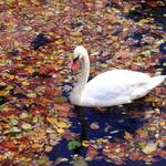 swan swimming in leaves