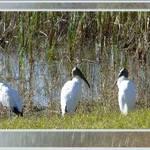 Avian Trio