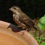 Finch female