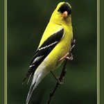 Goldfinch #2