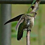 Stretching Hummingbird