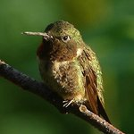 Early Morning Hummer