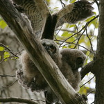 Baby Great Horned Owls April 2009, testing wings
