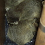 baby raccoons in garden-tool-box
