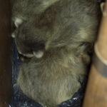 baby raccoons in garden-tool-box