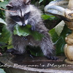 Baby Raccoon's Playtime