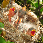 Baby Yellow Finches
