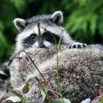 Baby with Mom Raccoon Asleep